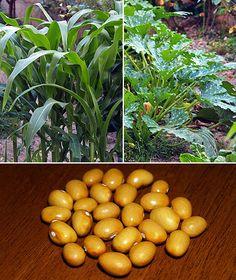 Oryctes.com - Blog & News: Orto Antico - Le tre sorelle: la coltivazione sinergica di mais, zucchine e fagioli.