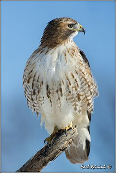 Red-tailed Hawk by Earl Reinink  #BirdsofPrey #BirdofPrey #Bird of Prey