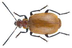 Family: Carabidae Size: 9,2 mm Location: Kenya, Nandi-Prov., Rondo, Kakamega Forest, 1650 m leg.U.Eitschberger, 5.-9.V.1997; det. M.Baehr, 2015 Photo: U.Schmidt, 2016