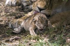 A British wildlife photographer has captured the rare sight of lion cubs just a few hours old