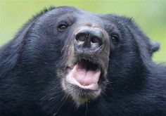 Asian black bear, face detail