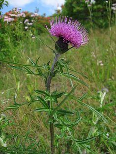 Amazing Flowers, Love Flowers, Scottish Thistle Tattoo, Scottish Flowers, Lilly Flower, Thistle Flower, Birth Flowers, Landscape Pictures, Floral Border