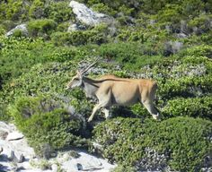 Eland, Cape Point National Park, Cape Town, South Africa Table Mountain, Natural Wonders, Cape Town, South Africa, Hunting, National Parks, Wildlife, African, Birds