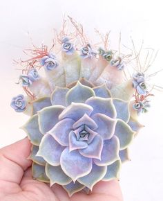 Echeveria Lilacina, Ghost Echeveria live succulent plant by SucculentCafes on Etsy Propagating Succulents, Cacti And Succulents, Planting Succulents, Planting Flowers, Cactus, Miniature Plants, Miniature Gardens, Succulent Terrarium, Terrariums