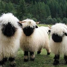 There's a breed of sheep from the Valais region of Switzerland that tops the list for the world's cutest sheep. The Valais Blacknose sheep are well known for their shaggy coats and spiral horns, but Cute Baby Animals, Farm Animals, Animals And Pets, Funny Animals, Wild Animals, Valais Blacknose Sheep, Black Faced Sheep, Highland Cattle, Cute Sheep