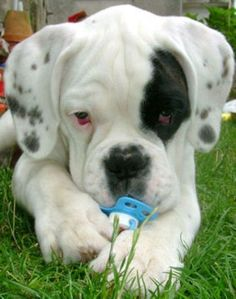 Boxer with a binkie Funny Boxer, Boxer Dogs, White Boxer Puppies, Pitbull Boxer, Cute Puppies, Cute Dogs, Dogs And Puppies, Animals And Pets, Baby Animals