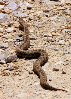 Horned viper, long-nosed viper, nose-horned viper, or sand viper (Vipera ammodytes) is a venomous viper species found in southern Europe through to the Balkans and parts of the Middle East. Snake Venom, Southern Europe, Viper, Free Images, Adventure, Pictures, Photos, Public Domain, Snakes