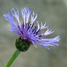 Blue Cornflower   Hardy perennial   Nancy Chow   Flickr Thistles, Hardy Perennials, Plants, Blue, Plant, Planets