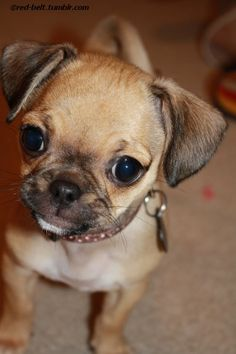 "Pug Chihuahua Mix | Bailey K (""chug"" chihuahua-pug mix) as a puppy :) submitted by red ..."