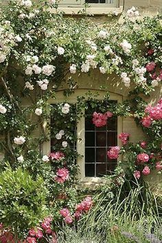 Rambling roses are beautiful and provide blooms for a shabby chic cottage.