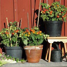 KÖRSBÄRSTOMAT 'Vilma' i gruppen Fröer / Grönsaksväxter / Fruktgrönsaker / Tomat / Kruka/ampel hos Impecta Fröhandel (500)