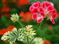Zonal Geranium 'Phyllis' (Pelargonium x hortorum)