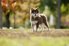 Jowita the Finnish lapphund by @FRGarcia_  on 500px