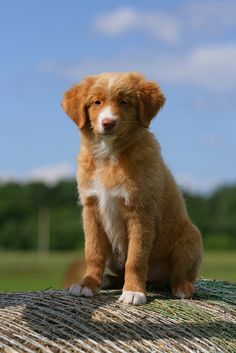 Tollers, ahhh they're so cute! Baby Puppies, Cute Puppies, Cute Dogs, Dogs And Puppies, Doggies, Toller Dog, Nova Scotia Duck Tolling Retriever, Dog Day Afternoon, Best Dog Breeds