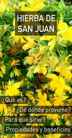 Hierba de San Juan : propiedades, beneficios para la salud, efectos secundarios y dosis recomendada