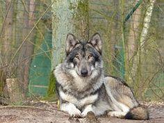 Loup, Des Animaux, Nature, Prédateur