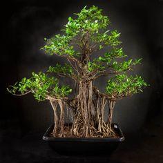 20 images passionnantes de bonsai ficus retusa bonsai. Black Bedroom Furniture Sets. Home Design Ideas