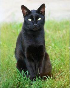 black cat  Little black panther __,,,^._.^,,,__