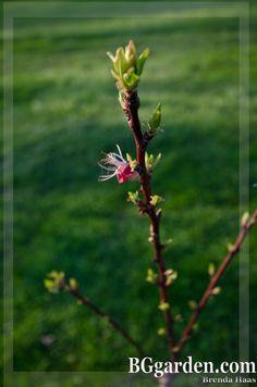 Wilson's First Blooms via @Bren In BGgarden
