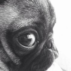 Pug close up -- oh the cuteness. I love pugs! Animals And Pets, Baby Animals, Funny Animals, Cute Animals, Pug Love, I Love Dogs, Cute Dogs, Fun Dog, Amor Pug