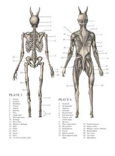 Satyr anatomy back