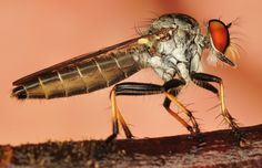 image of a robber by David So #macro #photography #robberfly