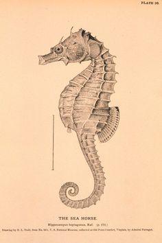 Plate 39. The Sea Horse. Hippocampus heptagonus, raf. via http://www.photolib.noaa.gov/htmls/figb0295.htm#