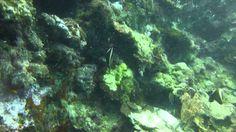 Video Humphead Bannerfish | Pata Negra Dive Center Bohol Philippines, Diving, Islands, Beach, Scuba Diving, The Beach, Beaches