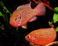 Jewel Fish are Beautiful but Terrorize an Aquarium at Breeding Time The Hemichro. Jewel Fish are Beautiful but Terrorize an Aquarium at Breeding Time The Hemichromis bimaculatus or Jewel fish also k Colorful Fish, Tropical Fish, Tropical Aquarium, Tropical Paradise, 55 Gallon Tank, Animal Tumblr, Guinea Pig Toys, Animal Activities, African Cichlids