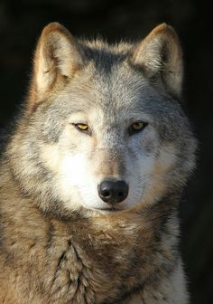 Beautiful animal!  But they are being slaughtered by the hundreds RIGHT NOW!!!  TODAY!  11/21/13...Facebook is full of anti wolf sites showing hunters who are posting horrific torture and murder of these beautiful animals.  It is beyond heartbreaking.  Please send your comment to Congress and tell them to protect the wolves BEFORE Dec. 17, 2013!  They desperately NEED EVERY VOTE they can get! Click here:   http://www.regulations.gov/#!submitComment;D=FWS-HQ-ES-2013-0073-30560