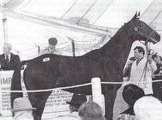 """A juvenile Sham in the sales ring at the 1972 dispersal sale of Arthur """"Bull"""" Hancock's racing stock. Personally bred by Hancock, whom he called """"my great horse"""", Sham was purchased. by Sigmund Sommer, who raced him under his green and gold colors"""