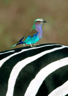 Lilac Breasted Roller on a Zebra at Masai Mara Reserve in Kenya  http://suitcasesandsunsets.com/kenya.html