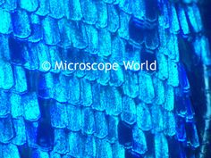 Butterfly wing under the microscope at 100x. http://www.microscopeworld.com/c-216-high-school-microscopes.aspx