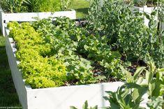 Cum cultivăm diferite soiuri de ridichi în grădină - gardenbio.ro Raised Beds, Home And Garden, Herbs, Organic, Vegetables, Plants, House, Culture, Home