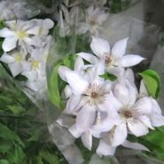 White clematis, vines are long and trailing
