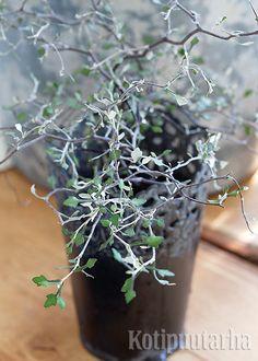 Kummituspuu (Corocia) on erikoisuus, joka taatusti jakaa mielipiteitä. Harva lehdistö kuuluu kasvin olemukseen. Korokia sopii esimerkiksi eteiseen tai kylpyhuoneeseen.  Hyvinvoiva pensas  puhkeaa keväällä keltaiseen kukintaan. Laji viihtyy kesällä ulkona. Anna mullan kuivahtaa  kastelujen välillä.