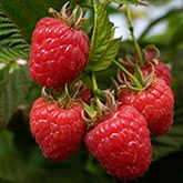 Heritage Red Raspberry Bush for Sale | Fast Growing Trees