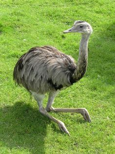 Ñandu - Fauna argentina Largest Countries, Countries Of The World, Rhodesian Ridgeback, Emu, Reptiles, South America, Catholic, Flora, Religion