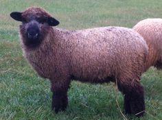 Romney Sheep, Sheep And Lamb, Lambs, Goats, Wool, Animals, Sheep, Animales, Animaux