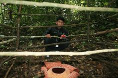 Rafflesia Arnoldi Flower at Taba Penanjung, Central of Bengkulu, Province of Bengkulu, Indonesia
