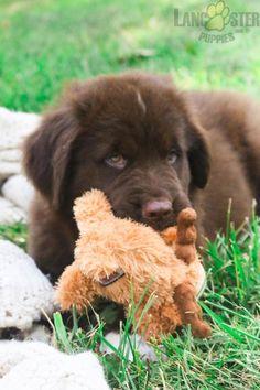 #Newfoundland #Charming #PinterestPuppies #PuppiesOfPinterest #Puppy #Puppies #Pups #Pup #Funloving #Sweet #PuppyLove #Cute #Cuddly #Adorable #ForTheLoveOfADog #MansBestFriend #Animals #Dog #Pet #Pets #ChildrenFriendly #PuppyandChildren #ChildandPuppy #BuckeyePuppies www.BuckeyePuppies.com Newfoundland Puppies, Lancaster Puppies, Us Vets, Animals Dog, Going Home, Puppies For Sale, Mans Best Friend, Puppy Love, Labrador Retriever