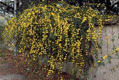 Iasomia de iarna - Jasminum Nudiflorum - planta rezistenta - ingrijire si inmultire
