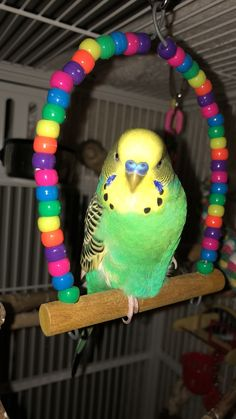 The one-legged, get that camera out of my face sleepy look - parakeet - budgie