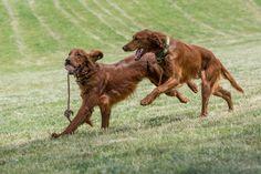 Irish setters runs across the field -