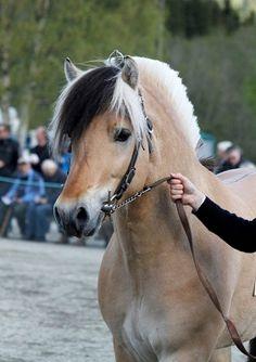Nice Fjord Horses_2