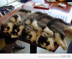 husky puppies napping together