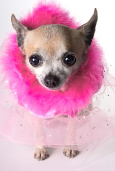 www.pamperedpetstravel.com  #travel #trip #traveling #PetTravel #dog #dogs #puppy #puppies #pet #pets #cute #CuteDog #pink #fur