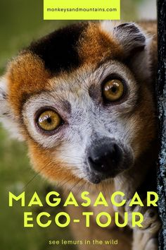 On our Madagascar Tour, you'll hike in 3 national parks, visit community reserves, and see lemurs. You'll also prepare a treat for lemurs at a reserve! Primates, Mammals, Beautiful Creatures, Animals Beautiful, Animal Facts, Mundo Animal, All Gods Creatures, Cute Baby Animals, Wild Animals