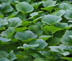 Wasabi Leaves are edible. The root is typically used to make the wasabi green paste we are all familiar with.