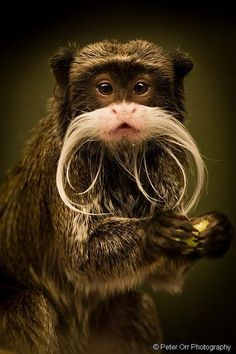 Twitter / SWildlifepics: A moustached Emperor Tamarin! ...